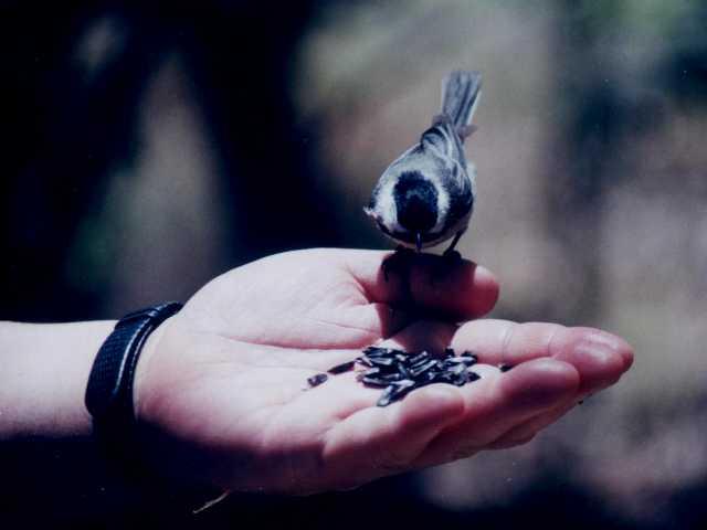Feeding Chickadee (Ipswich River Audubon)