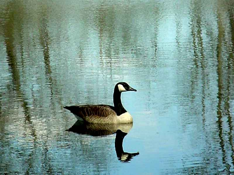 Goose (Lexington Conservation Land)
